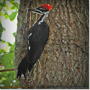 2014-06-20_IMG_3888_Pileated Woodpecker (Fem)_