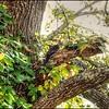 2017-09-20__P9204423c_tonblk3 6,_Pileated Woodpecker,Fredricksburg,Va