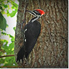 2014-06-20_IMG_3887_Pileated Woodpecker (Fem)_