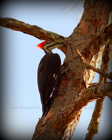 Pileated Woodpecker FEM....Clearwater,Fl      © 2014 RobertLesterPhotography.com