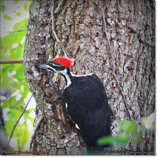 2014-06-20_IMG_3712_Pileated Woodpecker (Fem)_