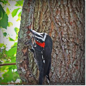 2014-06-20_IMG_3829_Pileated Woodpecker (Fem)_