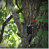 2014-06-20_IMG_3925_Pileated Woodpecker (Fem)_