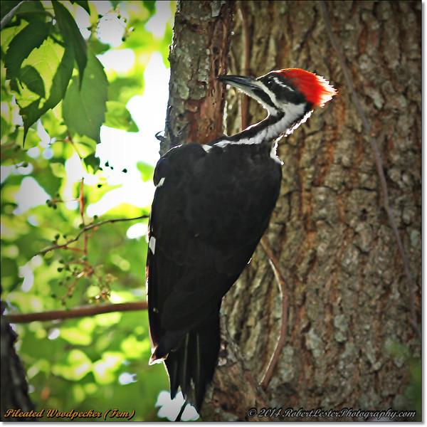 2014-06-20_IMG_3905_Pileated Woodpecker (Fem)_