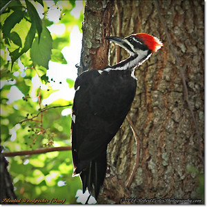 2014-06-20_IMG_3905_Pileated Woodpecker (Fem)_