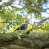 2019-09-13_ 0930 meterspotiso200 Pileated woodpecker__9130064