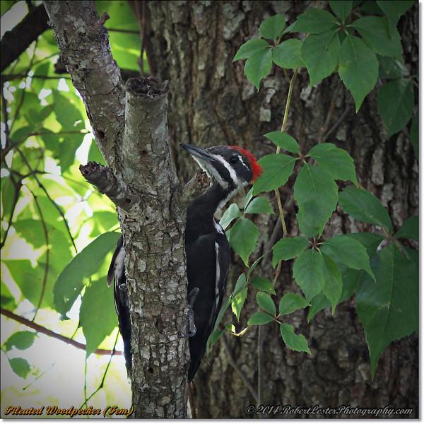 2014-06-20_IMG_3909_Pileated Woodpecker (Fem)_