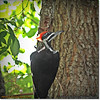2014-06-20_IMG_3897_Pileated Woodpecker (Fem)_