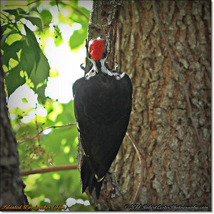 2014-06-20_IMG_3896_Pileated Woodpecker (Fem)_