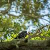 2019-09-13_ 0930 meterspotiso200 Pileated woodpecker_P9130057