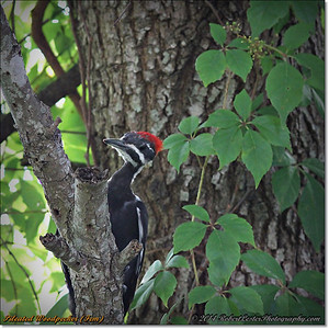 2014-06-20_IMG_3922_Pileated Woodpecker (Fem)_