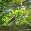 2019-09-13_ 0930 meterspotiso200 Pileated woodpecker__9130069