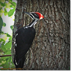 2014-06-20_IMG_3879_Pileated Woodpecker (Fem)_