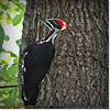 2014-06-20_IMG_3879_Pileated Woodpecker (Fem)_