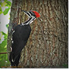2014-06-20_IMG_3880_Pileated Woodpecker (Fem)_