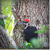 2014-06-20_IMG_3701_Pileated Woodpecker (Fem)_