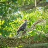2019-09-13_ 0930 meterspotiso200 Pileated woodpecker__9130068