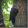 2014-06-20_IMG_3903_Pileated Woodpecker (Fem)_
