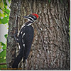 2014-06-20_IMG_3882_Pileated Woodpecker (Fem)_