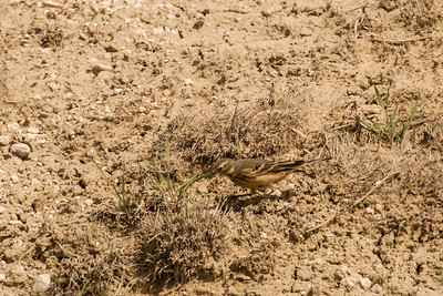 Pipits and Wagtails