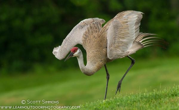 Sandhill Crane Courtship Dance