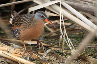 This virginia rail was spotted near the road at Ridgefield National Wildlife Refuge, WA. They are pretty commonly spotted in the spring time in the area.  Print size 5 x 7 $14.00 USD 8 x 10 $20.00 USD 8 x 12 $20.00 USD 11 x 14 $28.00 USD 12 x 18 $35.00 USD 16 x 20 $50.00 USD