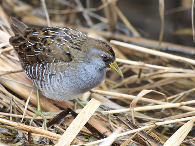 This sora was spotted along the road at Ridgefield National Wildlife Refuge in the spring of 2011  Print size 5 x 7 $14.00 USD 8 x 10 $20.00 USD 8 x 12 $20.00 USD 11 x 14 $28.00 USD 12 x 18 $35.00 USD 16 x 20 $50.00 USD