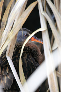 Virginia Rail hiding in the reeds of Ridgefield National Wildlife Refuge  Print size 5 x 7 $14.00 USD 8 x 10 $20.00 USD 8 x 12 $20.00 USD 11 x 14 $28.00 USD 12 x 18 $35.00 USD 16 x 20 $50.00 USD