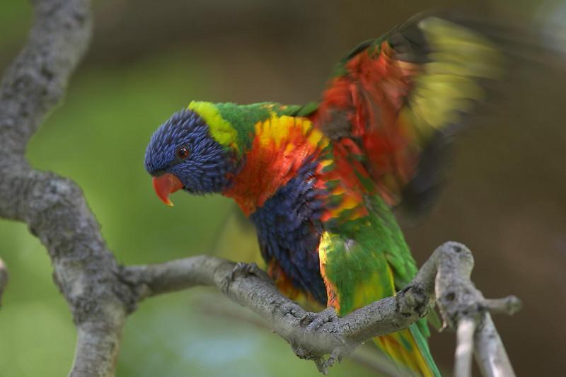 Rainbow lorikeet, Melbourne