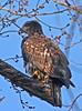 Two Year Old Bald Eagle (Haliaeetus leucocephalus)