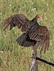 Turkey Vulture (Cathartes aura) on Fence Post