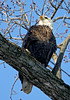 Bald Eagle in Tree - These 2 pics were taken a week later but the eagles were on the same branch as the other 2 pics.