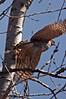 Peregrine Falcon (Falco peregrinus) in Flight