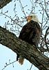 Bald Eagle in Tree Profile