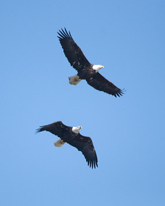Bald Eagles in Flight 2668