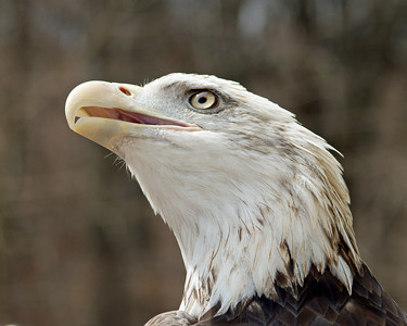 "Bald Eagle - ""Grounded Eagle Expectations"" - World Bird Sanctuary"