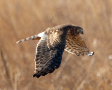 Northern Harrier (f) - C1834