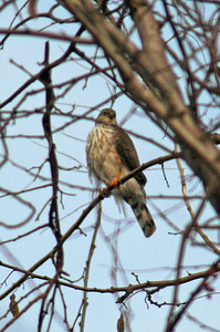 Juvenile Sharp-Shinned Hawk or Juv Cooper's
