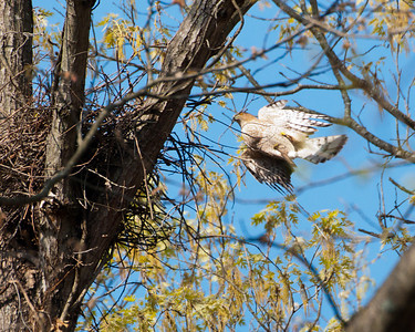Cooper's Hawk Approach 2291