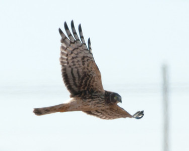 Northern Harrier (f) - C1843
