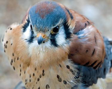 Kestral (m) - World Bird Sanctuary