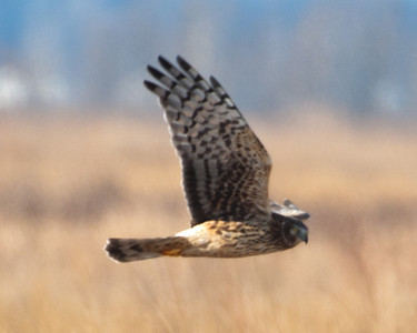 Northern Harrier (f) - C1790