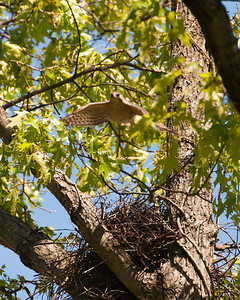 Cooper's Hawk From Nest 3488