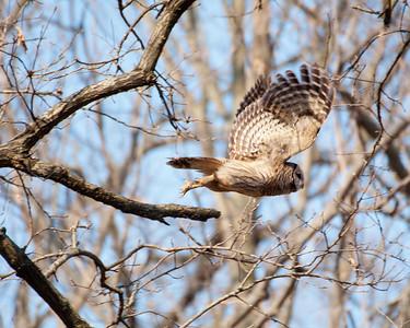 Barred Owl - 1117