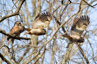 "Barred Owl - ""4 Stage Barred Owl Launch"""