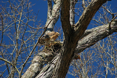 200? Red Shouldered Hawk Nest