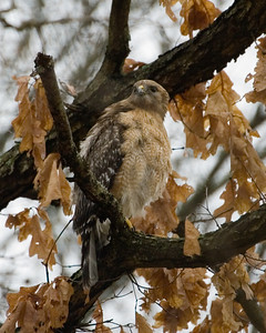 Red Shouldered Hawk in light rain 0680