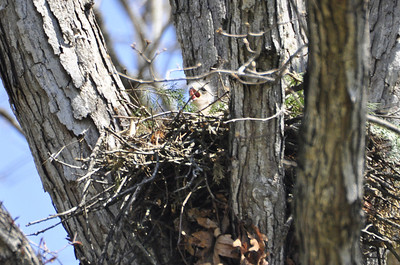 2009 Red Shouldered Hawk Nest 8640