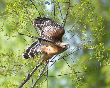 "Red Shouldered Hawk - ""Spring Flight"""