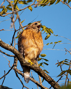 "Red Shouldered Hawk SC8240 - ""Alarm"""